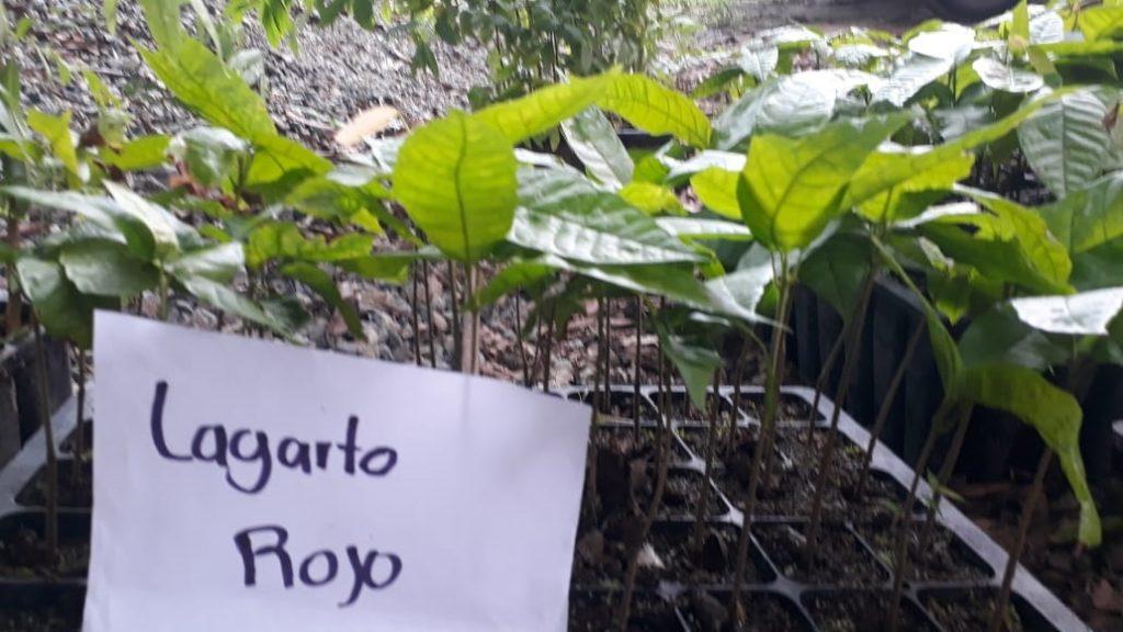 Organización agroecológica registra 3 variedades de cacao criollo en busca de su certificación