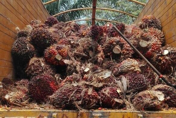 Productores de palma de aceite afectados por bloqueos carreteros piden garantizar la vida productiva