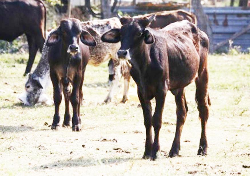 Advierten riesgo sanitario por ingreso ilegal de ganado de Centroamérica